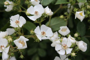 Edible Wild White Roses